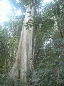 POHON-KENARI